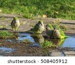 Monk Parakeets  Myiopsitta...