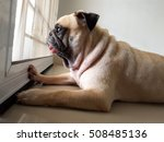 Stock photo a cute pug dog puppy is sit and waiting owner bring to play outside at the door 508485136