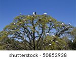Wood Storks And Great Egrets...