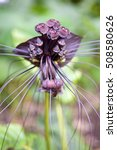 Small photo of Black bat flower across with long whiskers