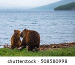 Two Brown Bears playing at a lake