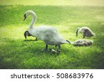 mother and baby swans resting...   Shutterstock . vector #508683976