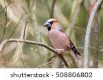 hawfinch on branch | Shutterstock . vector #508806802