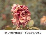 Dry Pink Orange Rose In Autumn...