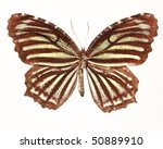 Small photo of Common Palmfly Butterfly (Elymnias nesa lioneli)
