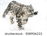 Snow Leopard Running In Snow