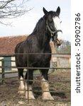 Large Black Shire Horse