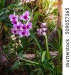 vanda orchid  violet orchid ...   Shutterstock . vector #509057365