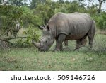 White Rhino Eating Grass In Th...