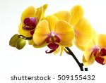 Phalaenopsis orchids  moth...