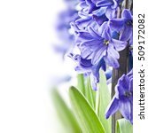 blue hyacinth on white...   Shutterstock . vector #509172082