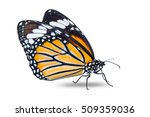 close up of common tiger ... | Shutterstock . vector #509359036
