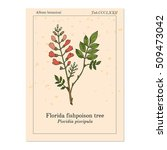florida fishpoison tree  or... | Shutterstock .eps vector #509473042