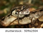 Snake   Boa Constrictor  Lunch...