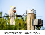 Cockatoo  Eating A Passion...