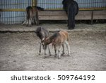 Two Mini Dwarf Horses In A...