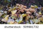 Shaggy Scalycap Mushroom ...
