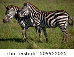 two zebras nuzzling each other... | Shutterstock . vector #509922025
