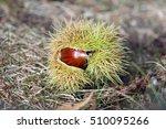 fallen sweet chestnut on ground ...   Shutterstock . vector #510095266