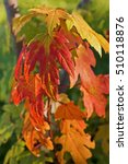 Autumn Foliage Of Sugar Maple ...