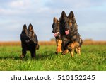 Stock photo pack of old german shepherd dogs running on the meadow 510152245