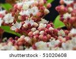 Small photo of Autumn Flowering Viburnum (Adoxaceae) - Macro