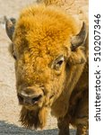 Small photo of American buffalo portrait on a sunny summer day