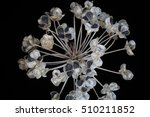 Dried Chive Seed Pods