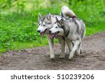 Small photo of Two Siberian husky running in the woods. Portrait of amicable couple of dogs outdoors.