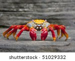 Sally Lightfoot Crab  On Rock...