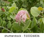 Small photo of African caper plant in bloom at the Ngarasero waterfalls in Tanzania Africa