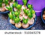 Tulip Bulbs In Pot In Amsterdam ...