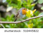 robin perched and inquisitive... | Shutterstock . vector #510445822