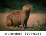Capybara Sitting On Beach On...