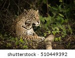 Jaguar Lying By Log In Dense...