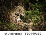 Jaguar Lying By Log In Dense...