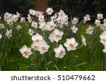 Narcissus Aflame  White Petal...