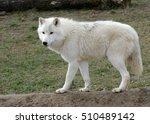 Profile Of The Arctic Wolf ...