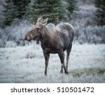 Female Moose Grazes 2