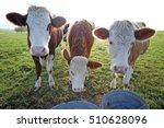 Three Amigos. Three Cows In...