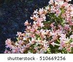 Oleander Flowers  Oleander...