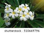 Frangipani Yellow Leaves On Th...
