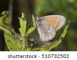 Small photo of Large Heath or Common Ringlet (Coenonympha tullia)