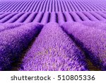 lavender flower blooming... | Shutterstock . vector #510805336