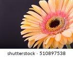 Ellow Gerbera Flower. Drops ...
