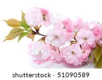 branch with pink cherry...   Shutterstock . vector #51090589