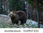brown bear in the carpathian... | Shutterstock . vector #510907252