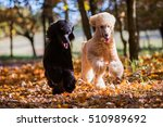 two royal poodles running in... | Shutterstock . vector #510989692