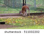 Kangaroo In Zoo