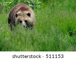 Female Grizzly in Meadow - stock photo